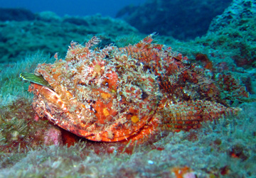 spotted scorpionfish with tail of a rockhind stickingout of its mouth (Scorpaena plumieri)