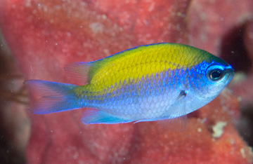 Sunshinefish (Chromis insolata)