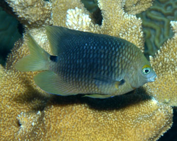 three spot damselfish
