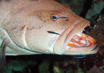 A large fish hovers with its mouth open while much smaller fish clean its face and mouth.