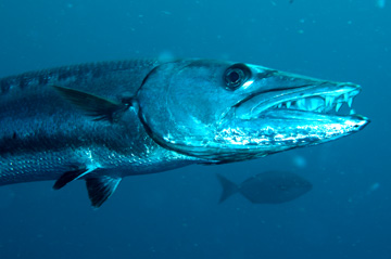 Headshot of Great Barracuda with an open mouth full of teeth