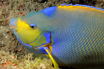 Townsend's angelfish