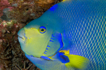 Townsend Angelfish head (Holacanthus townsendi)