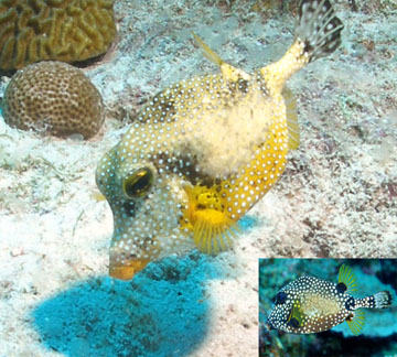 Golden smooth trunkfish, a boxy-shaped fish that is bright yellow with white spots. A small inset photo in the bottom right corner shows a normal smooth trunkfish that is black with white spots.