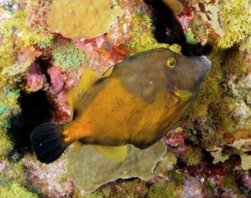 whitespotted filefish (Cantherines macrocerus)