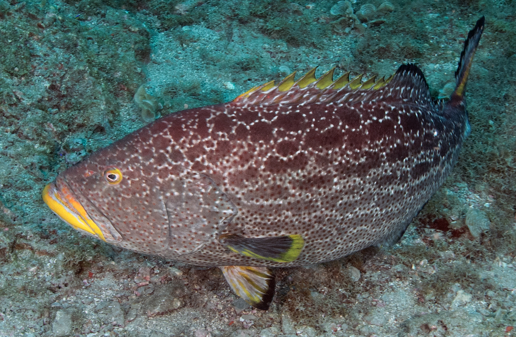 Fishes of Flower Garden Banks National Marine Sanctuary ...Yellow Mouth Grouper