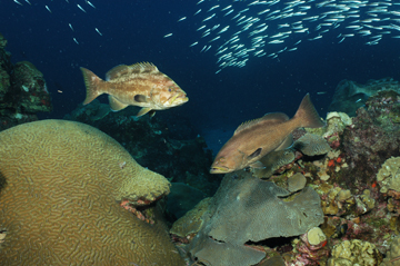 Two large groupers swimming above the reef with a school of bright, silvery fish in the background.
