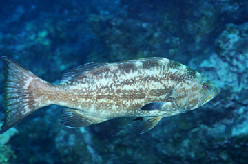 light colored yellowmouth grouper