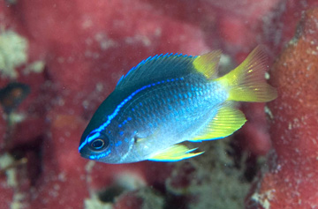 Yellowtail Reeffish (Chromis enchrysura)