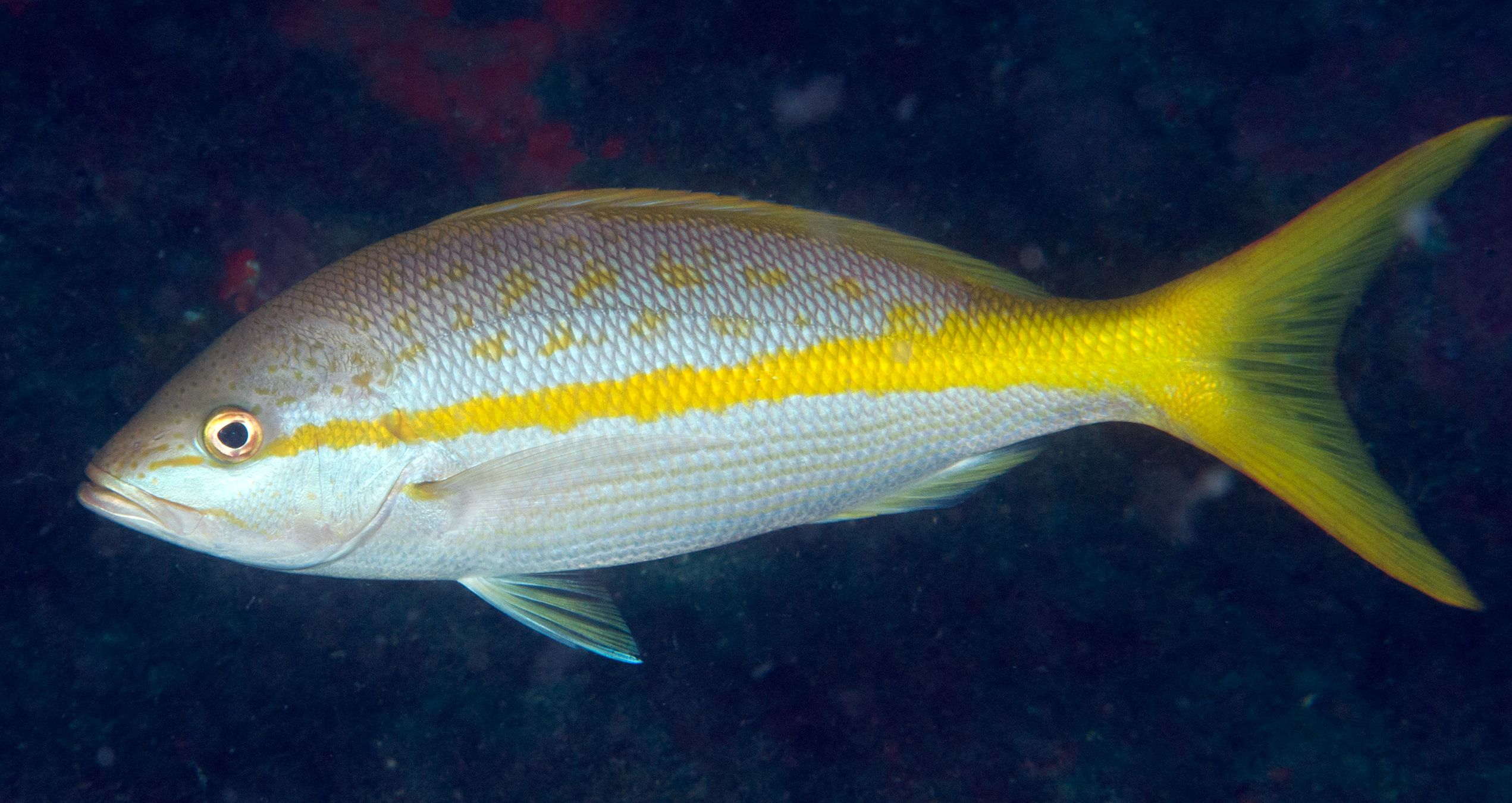 Fishes of flower garden banks national marine sanctuary for Yellow tail fish