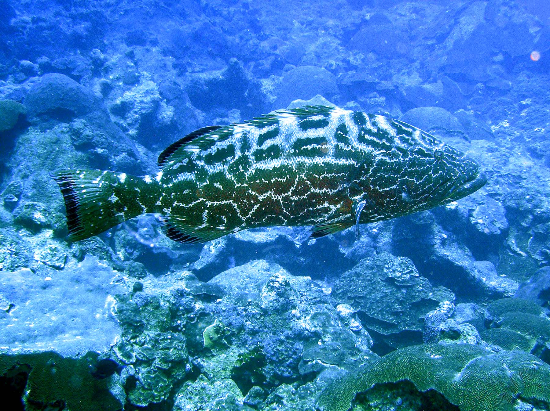 What Will I See at the Flower Garden Banks National Marine ... Yellowmouth Grouper Photos