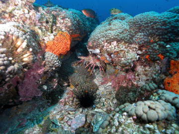 Spiny lobsters and long-spine urchins hiding in nooks between coral heads on the reef.