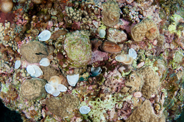 Section of reef scattered with empty clam shells and one cowry shell