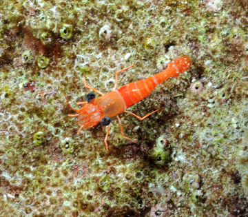 Red Night Shrimp (Cinetorhynchus manningi)