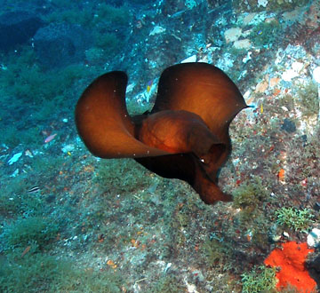 Atlantic black sea hare