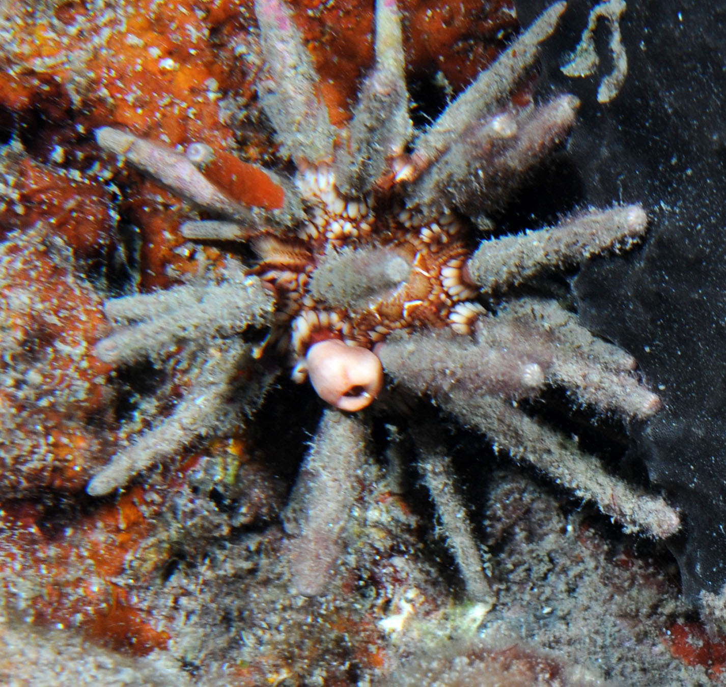 Green sea urchin facts viewing gallery