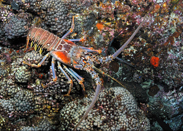 Spiny lobster walking across the reef at Stetson Bank
