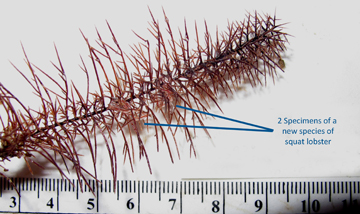Tiny lobsters hidden in the branches of a black coral sample that is laid out next to ruler for size comparison