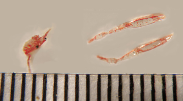 A squat lobster displayed in three parts, with the main body to the left and two pincers to the right, all next to a ruler for scale