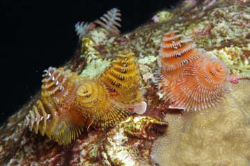 Christmas tree worms on a coral head