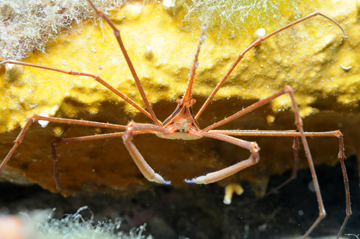 yellow line arrow crab