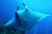 Belly view of manta ray M63
