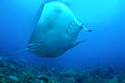 Belly view of manta ray M64