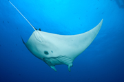 Belly view of manta ray M73