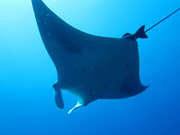 Belly view of manta ray M74