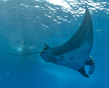 Belly view of Manta Ray M75 swimming to the right