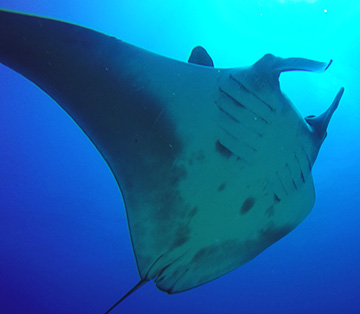 Belly view of Manta Ray M78 swimming to the right