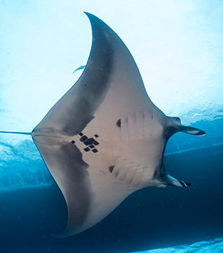 Belly view of Manta Ray M80 swimming to the right