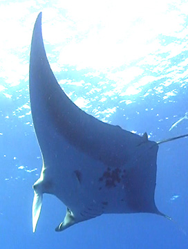 Belly view of Manta Ray M83 swimming to the left