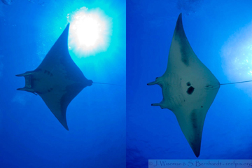 Split picture with a mobula ray pictured on the left and a manta ray pictured on the right.