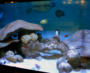 Aquairum with tropical fish and artificial corals.
