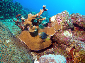 The healthy side of an elkhorn coral with a small yellowish fish in front.