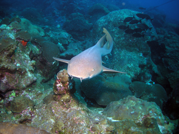 A nurse shark swimming over the reef.  The shark seems to be swimming straight toward the viewer.