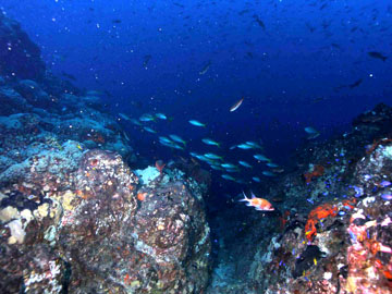 Many different kinds of fish swimming above and around the reef outcrops covered in algae and sponges.