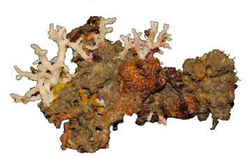 A piece of reef rock that includes branching white corals, orange-brown sponges, and other unidentified attached organisms.