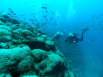 Several scuba divers swim alongside a reef covered in Madracis corals and swarming with fish.