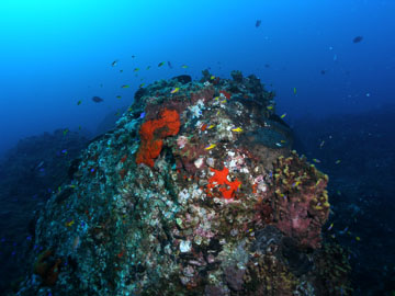 A rounded outcropping covered in red sponges, yellow sponges, bits of algae, and a variety of other encrusted organisms.  A swarm of tiny fish swim about the top of the outcrop.