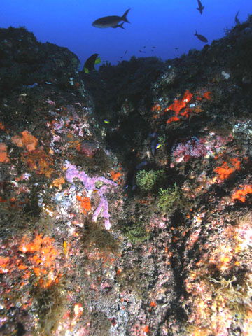 A large, rocky outcropping covers in purple and orange sponges and tufts of green algae.