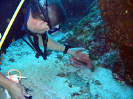 Craig Burnside checks lifts up a queen conch shell to make sure it is still occupied by a conch and not a hermit crab