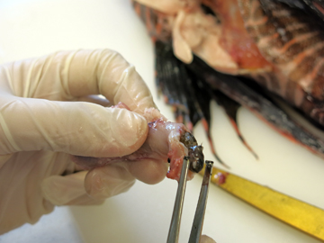 Using tweezers to pull a fish from the cut open stomach of a lionfish