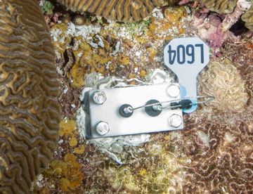 Metal plate bolted to reef, near a brain coral, with a number tag L604 attached.