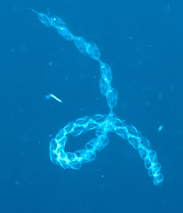 Pelagic tunicates in a looped chain formation (Salpa sp.)
