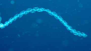 Pelagic tunicates in a chain formation (Salpa sp.)