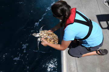 Woman releasing a sea turtle into the ocean from the back platform of a boat.