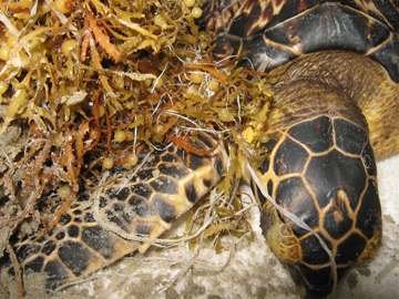 A sea turtle tangled in sargassum on a beach