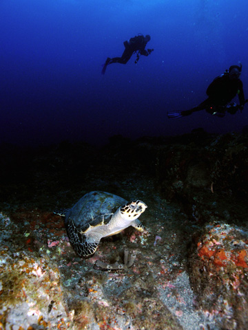 Hawksbill sea turtle resting on the reef with two divers visible in the background